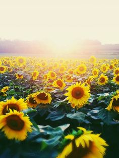 Sunflower field - Native Plants to North America that offer stunning tall foliage and flowers outdoors. An important addition to any gardening project, soil remediation project or many herbal medicine projects.