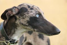 "spilltojill-pets-dogs-cats: ""Heterochromia iridis by Nogatron http://flic.kr/p/nCF3L9 """