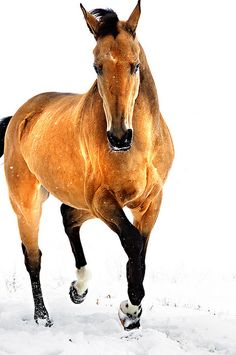 "Akhal-Teke horse in snow~ These horses look like they ""Glow"" and ""Shimmer"" in the sunlight. Their coats are different from other breeds of horses =)~"
