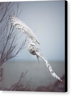 I Heart Faces Beautiful Photo of the Week - Snowy Owl Wildlife Photography by Carrie Ann Grippo-Pike Nature Animals, Animals And Pets, Cute Animals, Arctic Animals, Small Animals, Beautiful Owl, Animals Beautiful, Wildlife Photography, Animal Photography
