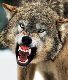 Wolf Pack Hunting Real Life   Big Bad Wolves