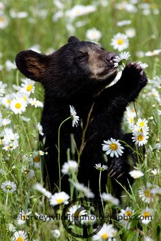 Black bear cub. Even animals take time to smell the flowers.