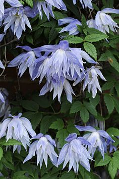 Clematis macropetala 'Wesselton' - Another! Blue Garden, Shade Garden, Garden Plants, Garden Trellis, Clematis Flower, Clematis Vine, Blue Clematis, Climbing Vines, Flowering Vines