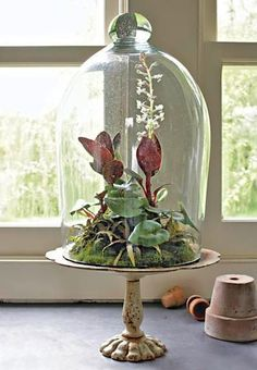 Victorian terrarium display A Victorian cake stand with cloche creates old-fashioned appeal. Inside: a blooming jewel orchid, arrow-leaf ferns and small star-shape Cryptanthus 'Chocolate Stars'. Moss stabilizes and hides the soil and roots. Indoor Garden, Indoor Plants, Orchid Terrarium, Terrarium Diy, Terrarium Centerpiece, Glass Terrarium, Jewel Orchid, Ad Hoc, The Bell Jar
