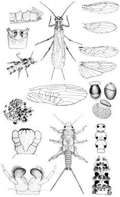 plecoptera.gif (422×691)