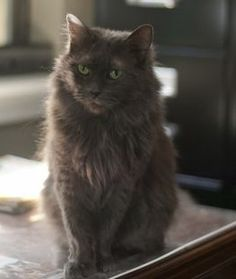 Check out Diamond's profile on AllPaws.com and help her get adopted! Diamond is an adorable Cat that needs a new home. https://www.allpaws.com/adopt-a-cat/russian-blue-mix-domestic-medium-hair/281748?social_ref=pinterest