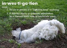 Westie Attitude.... Lily loves to help her daddy dig holes but it is hard to get her to stop.