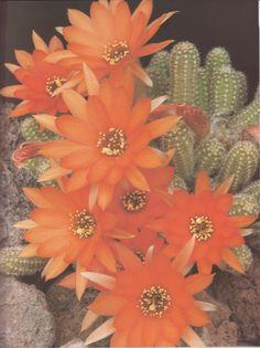 Echinopsis chamaecereus (silvestris)