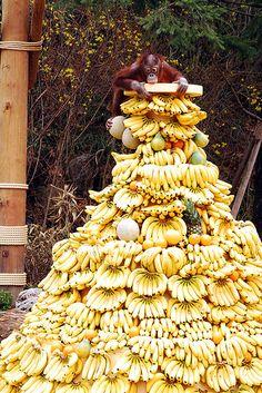 "Everland  Monkey Valley ""Orangutan"" on a mountain of bananas"