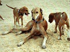 Werner 09T (Daoud Abdullah Abdullah) Tags: l'histoire de chien sahara Mali Niger canine préservation BurkinaFaso touareg fulani sahel azawakh bororo ayad amazigh tamasheq fulfulde Songhaï fulfulbe tamazight fulb de Tinakoff