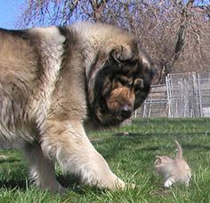 The features of Caucasian Mountain Shepherd Dog or Caucasian Shepherd Dog are very Giant Dogs, Big Dogs, Dogs And Puppies, Beautiful Dogs, Animals Beautiful, Cute Animals, Russian Bear Dog, Caucasian Shepherd Dog, Caucasian Mountain Dogs