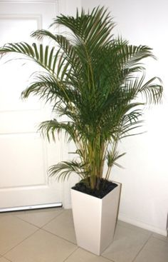Golden Cane palm in white wedge planter