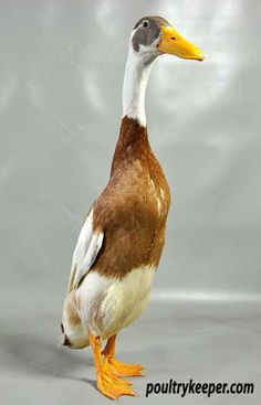 Fawn-and-White-Indian-Runner-Duck-Marcell-Worley-2