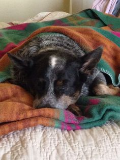 remember when mine was this small. They grow up so fast don't they Aussie Cattle Dog, Austrailian Cattle Dog, Cattle Dogs, Dog Rules, My Animal, Beautiful Dogs, Blue Heelers, Dog Love, Best Dogs