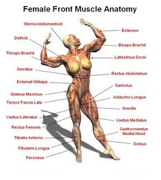 Female Front Muscle Anantomy