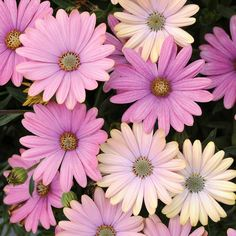 Osteospermum Serenity Sunset (Osteospermum ecklonis), has beautiful soft gold yellow blooms with pink centres. The flowers start off pale yellow and Compost Bucket, Plants Under Trees, Garden Express, Cottage Garden Plants, Grow Bags, Different Seasons, Ornamental Grasses, Fruit Trees, Hedges