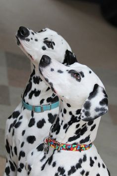 Beautiful Dalmatians!