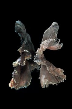Victoria's - Siamese fighting fish on black background visarute angkatavanich