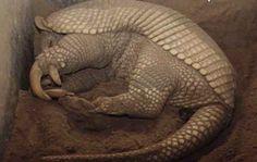 El Tatù Carreta es el mayor armadillo viviente y la especie se encuentra en vías de extinción. | Argentina Live