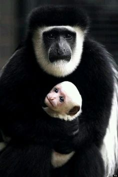 Black and white colobus monkey and baby