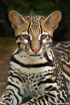 One of my favorite cats. I love the ocelot. (Feline Jewel by Paul Bratescu - This ocelot was photographed in Costa Rica. Crazy Cats, Big Cats, Cats And Kittens, Cute Cats, Tabby Cats, Siamese Cats, Nature Animals, Animals And Pets, Baby Animals