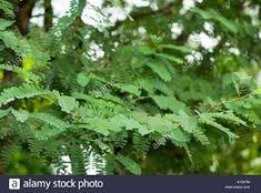 tamarindus – Vyhledávání Google Tamarind, Parsley, Trees, Leaves, Stock Photos, Google, Food, Tree Structure, Essen
