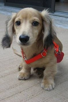 Long-haired English cream mini-dachshund is gonna be my first dog, eventually.