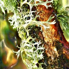 oakmoss used as a basenote