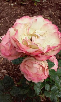 Rosas en el Parque Federico García Lorca, Granada