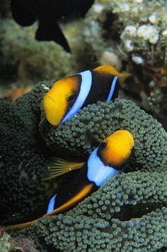 ✭ A pair of orange fin anemonefish sleep amid sea anemone tentacles