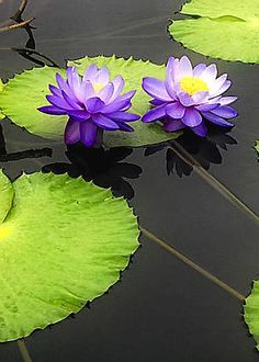 Water Lily Pads in Purple by Timothy Hacker Water Flowers, Water Plants, Purple Flowers, Beautiful Flowers, Art Floral, Nymphaea Lotus, Lily Pond, Aquatic Plants, Flower Pictures