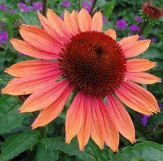 BIG SKY SUMMER SKY CONEFLOWER - 36 to 42 in. tall - I planted two quart sized plants in 2016.