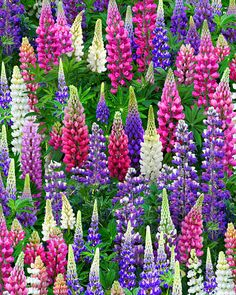 Landscape Medley - Lupine Love -Quilt Fabrics from www.eQuilter.com