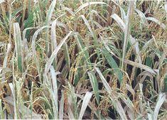 Tập trung khống chế bệnh bạc lá trên lúa hè thu và lúa mùa