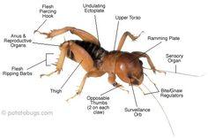 Google Image Result for http://www.potatobugs.com/articles/images/pbug_parts.jpg