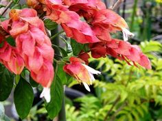 Shrimp Plant for Tropical Gardens