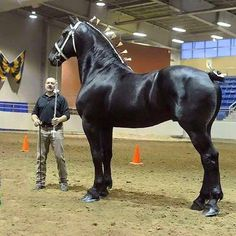Don't have expectations for your Percherons horses. Your … Percherons horses; Don't have expectations for your Percherons horses. Your pet Percherons horses is not going to likely to be long if you are training him. Big Horses, Black Horses, Pretty Horses, Horse Love, Beautiful Horses, Animals Beautiful, Show Horses, Majestic Horse, Majestic Animals