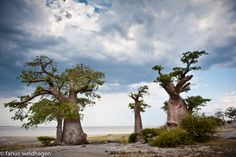Kubu Island, a rocky outcrop in Sua Pan, part of the Makgadikgadi pan complex, supoorts numerous baobab trees. Baobab Tree, Landscape Materials, Paladin, Africa, Island, Bonsai Art, Places, Travel, Painting