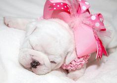 White English Bulldog puppy.