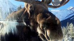 Up Close With Critters: From a Car-Licking Moose to a Blood-Dripping Vulture