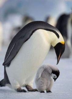 Mother and baby penguin ... oh....