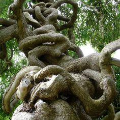 Tree like intestines Weird Trees, Twisted Tree, Magical Tree, Unique Trees, Old Trees, Tree Trunks, Tree Shapes, Nature Tree, Tree Forest