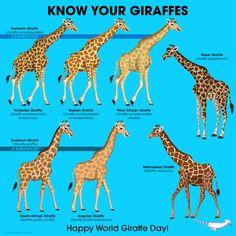 Happy World Giraffe Day Unbelievers! Extinct Animals, Zoo Animals, Animals And Pets, Cute Animals, Especie Animal, Animal Facts, Mundo Animal, West African Giraffe, African Animals