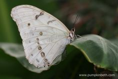 he White Morpho Butterfly, also known by its scientific name of Morpho polyphemus, originates from Mexico and Central America, its pictured here inside the Butterfly Dome, at the RHS Hampton Court Palace Flower Show 2017.