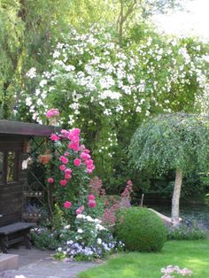 """Garden of my parents: Roses """"Bobby James"""", """"Pink Cloud"""", """"Winchester Cathedral"""""""