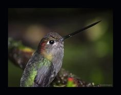 Green Fronted Lacebill (80 pieces)