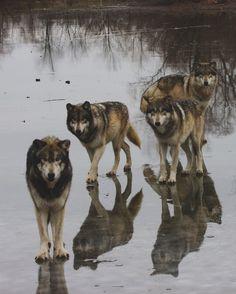 wolf pack on frozen lake animal + wildlife photography Wolf Photos, Wolf Pictures, Animal Pictures, Lake Animals, Nature Animals, Beautiful Wolves, Animals Beautiful, Malamute, Wolf Husky