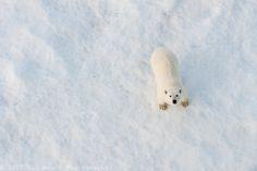 Polar Bear by Ian Mears on 500px