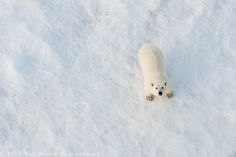 Polar Bear by Ian Mears on 500px