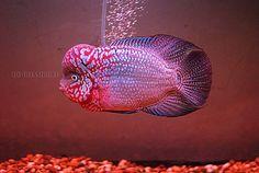 flowerhorn fish Cichlid Aquarium, Ocean Aquarium, Freshwater Aquarium Fish, Pretty Fish, Beautiful Fish, Colorful Fish, Tropical Fish, Pez Flower, Aquarium Accessories